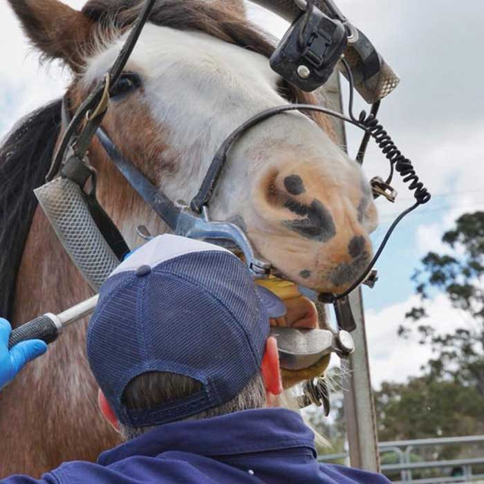 Dr Tom Hamilton with a horse at ab equine dental appointment in Perth