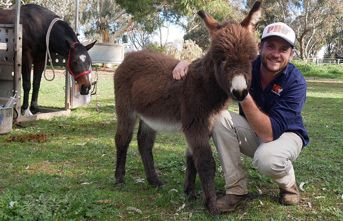Tom from Perth Horse Dentistry with a donkey client